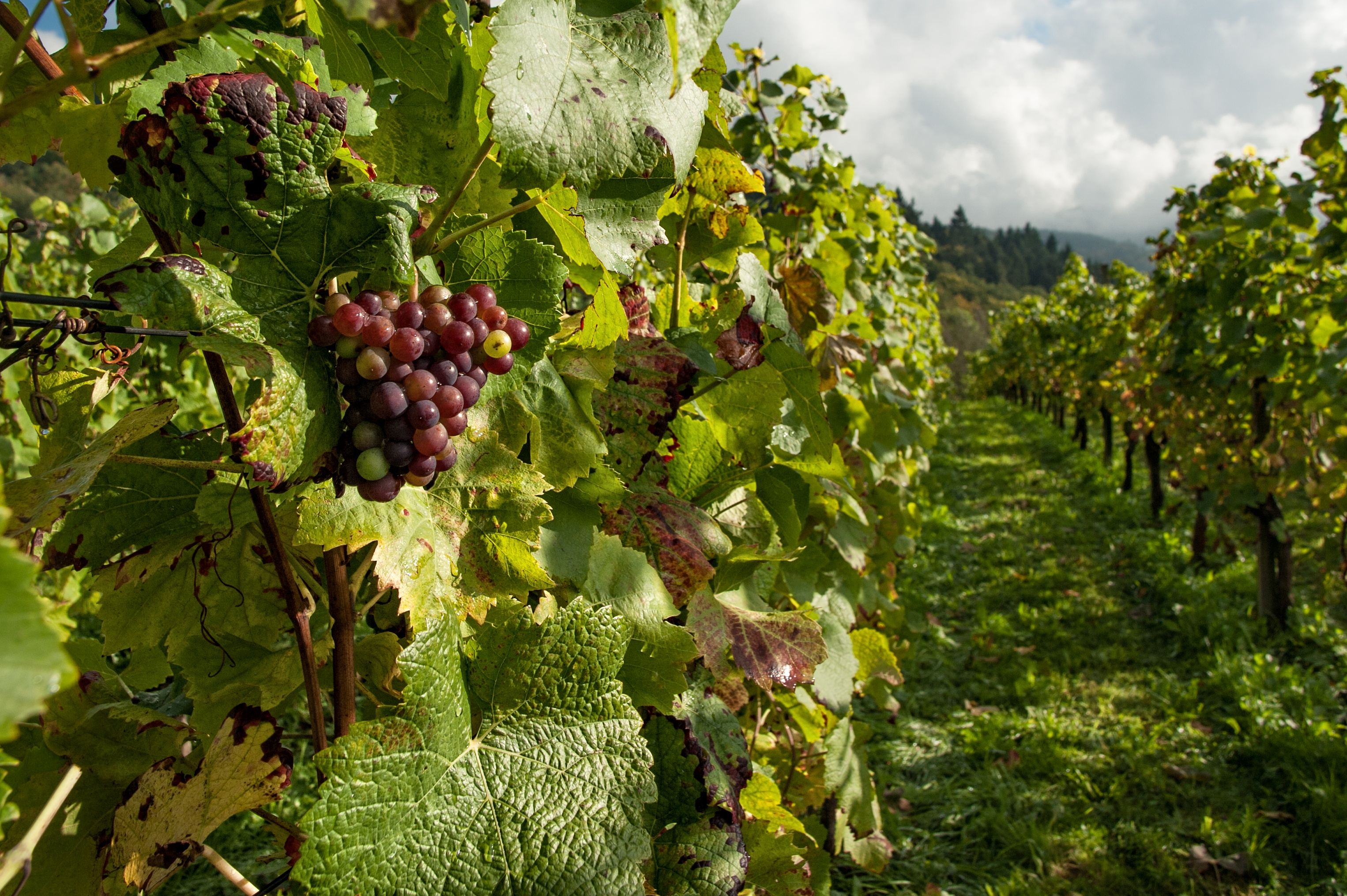 Organic wines are difficult to make because it takes a lot of work to follow all the regulations