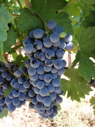 Marselan grapes for wine